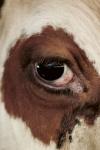 Ur Känsla för kor. Foto Philipp Rohner