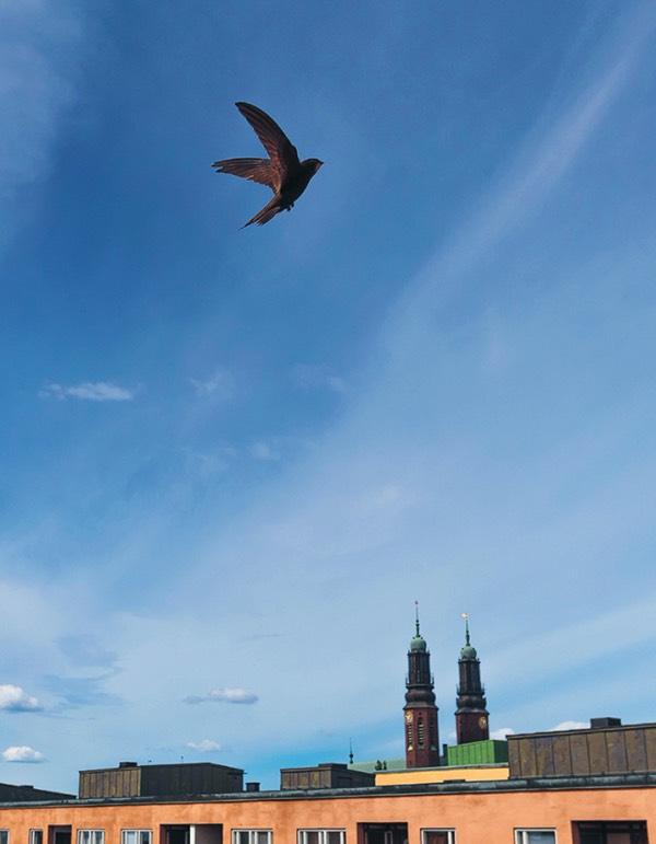 Tornsvala över Södermalm, Stockholm Foto: Jan Ehrsson