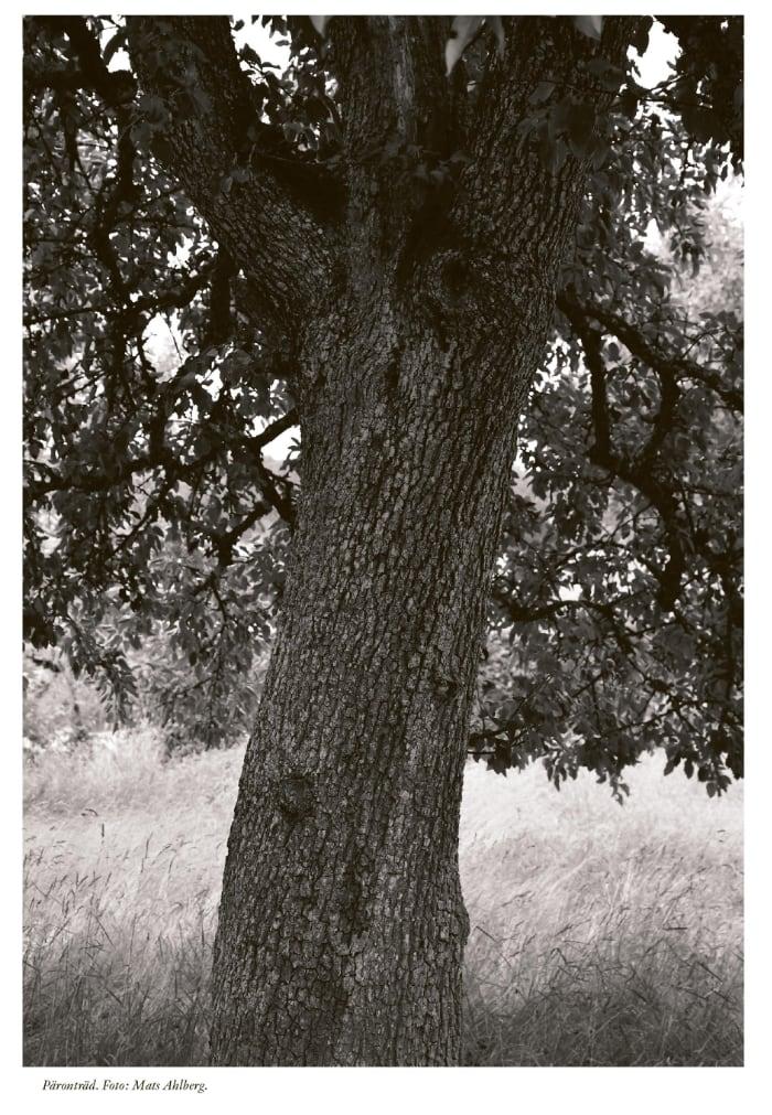 Ett päronträd